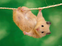 Scientists learn to make hamsters charge cell phone batteries