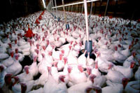 British authority reports cause of bird flu still unidentified