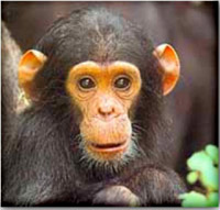 AIDS originated in chimpanzees, scientists confirm