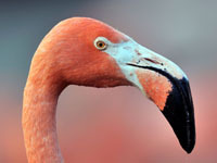 Flamingoes land in Siberia for winter. 45853.jpeg