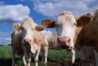 New case of mad cow disease confirmed in Canada