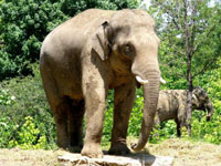 Famous Sri Lankan elephant sick after festival