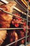 South Korea confirms its first-ever cases of bird flu