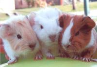 British animal rights activist participates in terror against guinea pig farm