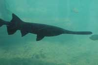 National Geographic, China launch study of critically endangered Chinese paddlefish