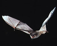 Bat fossil unveils mystery of flight and echolocation abilities