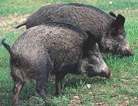 Wild hog population rises in Texas because of wet summer