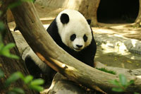 First Giant Panda Born From Frozen Sperm in China