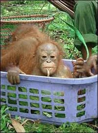 Four smuggled Malaysians orangutans return to Indonesia