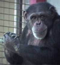 First chimpanzee to learn sign language dies