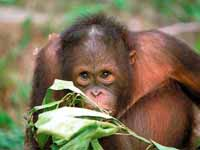 Malaysian orangutan expected to regain vision after cataract surgery
