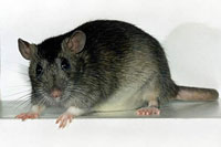 Poor Indians consider adding rat meat to their menus