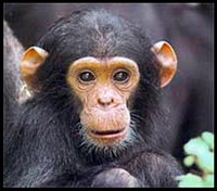 Chimpanzee gunned down after escaping from zoo
