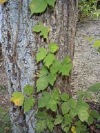 More carbon dioxide makes more noxious poison ivy