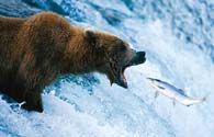 The first documented case of grizzly-polar bear in wild