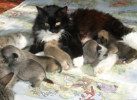 Cats mother six pug-puppies