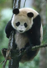 More than 60 pandas live in Chinese sanctuary