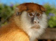 Scientists discover new genus of African monkey