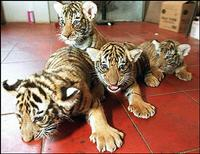 Tiger triplets at Chinese zoo nursed by dog after mother rejects them