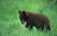 New Jersey only center to care for orphaned black bear cubs  houses record number of cubs