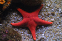 Starfish devastate coral reefs in Philippines