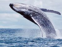 100 humpback whales come to mate in the Colombian Pacific. 44981.jpeg