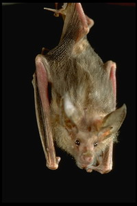 Dead bat is used for rabies' study
