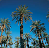 Los Angeles to replace dying palms with native species