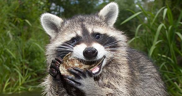 Ukrainian Armed Forces to employ raccoons. Raccoons for Ukrainian Army