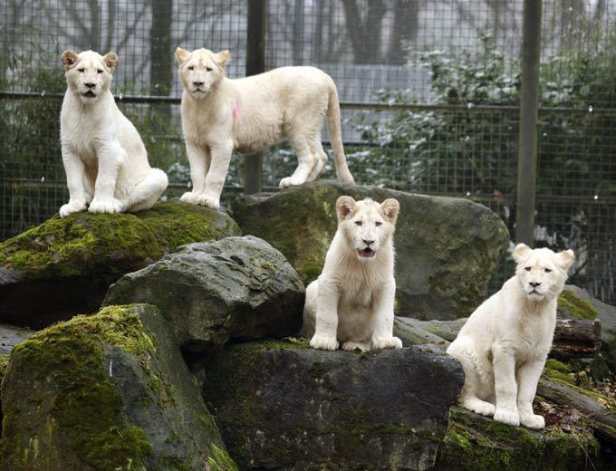 White lion, a miracle of nature