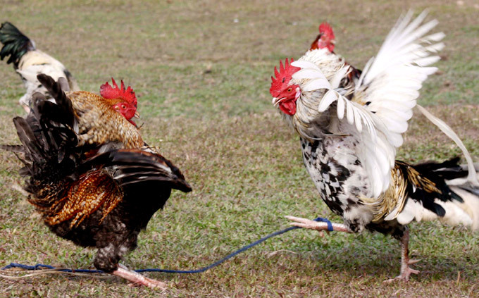 Brutal Cock Fights During Harvest Festival In India A Traditional Cock