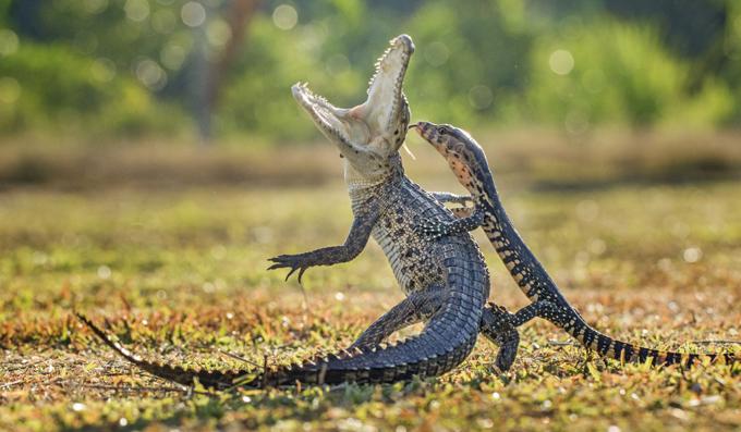 A lizard and a croc in a fierce fight