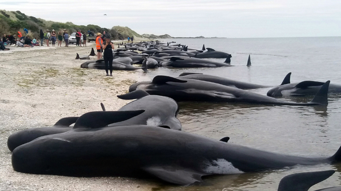 Accidents of the week Another pod of 240 whales committed suicide by beaching themselves at a New Zealand beach on Saturday. Another mass beaching occurred just hours after volunteers managed to rescue other whales from a different group. In total, more than 650 pilot whales have beached themselves along a five kilometer stretch of coastline in two days