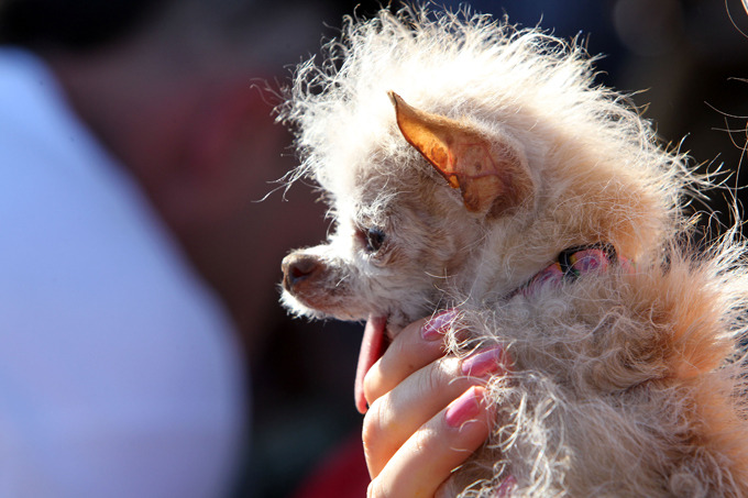 Ugliest dog in the world