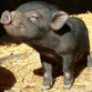 Mini pigs and dwarfish horses all the rage in Moscow