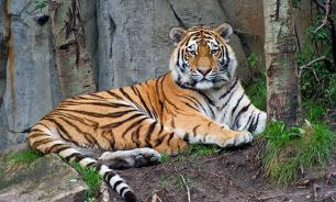 Rare Siberian tiger euthanised at Denver Zoo