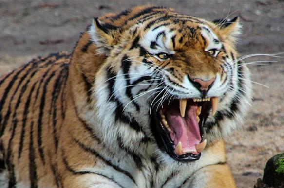 Siberian tiger kills man out of revenge