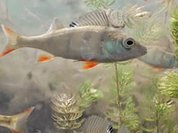 Fish sound-making muscles show no evolution