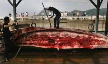 No Way, Norway! Norway s annual slaughter of whales