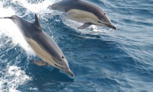 Unbelievable massacre on Faroe Islands: Hunters slaughter 1,500 dolphins