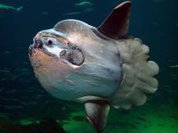 Moonfish - a stranger in the seas