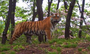 Mushroom pickers climb a tree to escape from wild Amur tiger in Russia