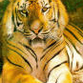 US soldier shoots Bengal tiger in Baghdad zoo