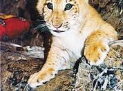 New unique animal, liger, born in Siberian zoo