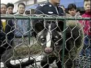 Chinese authorities will kill 10.00 viverra animals accused of disseminating SARS