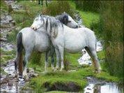 Horse-whispering: Saving Snowdonia's ponies