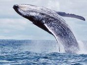 100 humpback whales come to mate in the Colombian Pacific