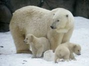 Canada's unsustainable slaughter of polar bears
