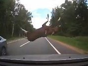 Flying moose lands on rooftop during car accident