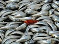 Europe and USA swindle to send banned fish to Russia